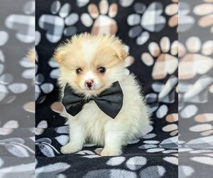 Pomeranian Puppy for sale in LINCOLN UNIV, PA, USA