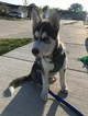 Siberian Husky Puppy For Sale in NEW BALTIMORE, MI, USA