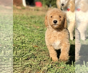 Poodle (Standard) Puppy for sale in ANDERSON, SC, USA