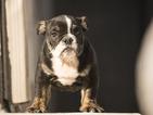 English Bulldogge Puppy For Sale in FORT PIERCE, FL, USA