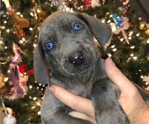 Weimaraner Puppy for Sale in HEADLAND, Alabama USA