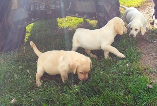 View Ad Labrador Retriever Litter Of Puppies For Sale Near