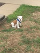 Olde English Bulldogge Puppy For Sale in SAINT PETERS, MO,