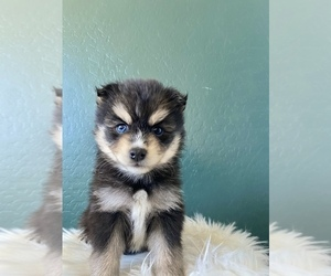 Pomsky Puppy for sale in QUEEN CREEK, AZ, USA