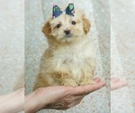Puppy 5 Maltese-Poodle (Toy) Mix