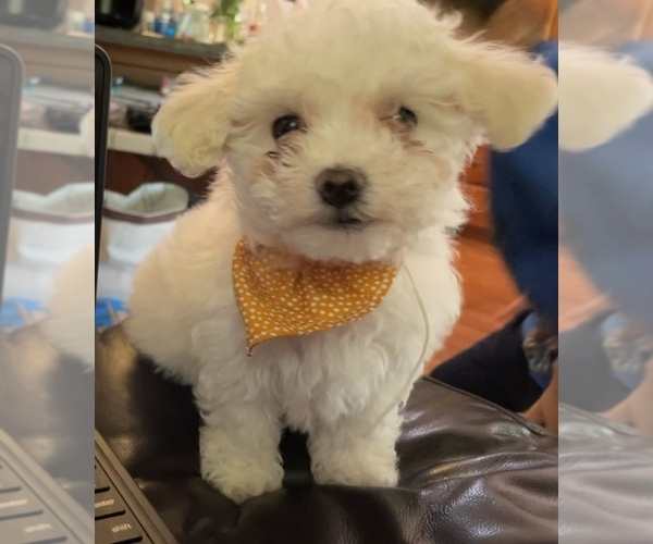 Medium Photo #7 Maltipoo Puppy For Sale in LOUISVILLE, KY, USA