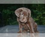 Puppy 2 Shepradors