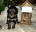 Bernedoodle Puppy For Sale near 35010, Alexander City, AL, USA