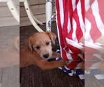 Puppy 1 Jack-A-Poo