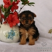 Yorkshire Terrier Puppy For Sale in GAP, PA,