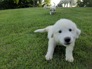 Great Pyrenees Puppy For Sale in WINGINA, VA, USA