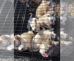 Small Photo #24 Wolf Hybrid Puppy For Sale in FILLMORE, LA, USA
