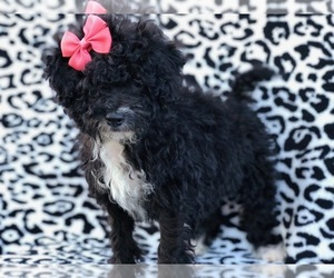 Cantel Puppy for sale in RISING SUN, MD, USA