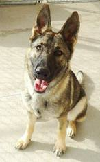 Zoltan - German Shepherd Dog Dog For Adoption