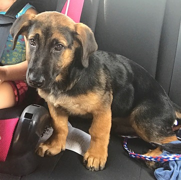 german shepherd dachshund mix