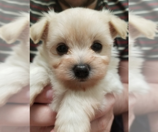 Medium Photo #2 Pom-A-Nauze Puppy For Sale in CANBY, OR, USA
