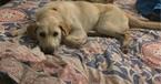 Labrador Retriever Dog For Adoption in DENVER, CO, USA