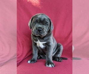 Cane Corso Puppy for sale in RONKS, PA, USA