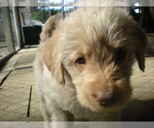 Labradoodle Puppy for sale in UXBRIDGE, MA, USA