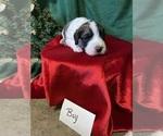 Puppy 5 Saint Berdoodle