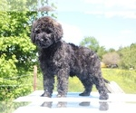Small #37 Goldendoodle