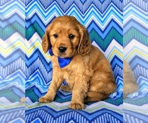 Golden Cavalier Dog for Adoption in HONEY BROOK, Pennsylvania USA