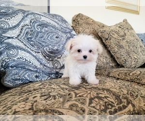 Maltese Puppy for Sale in SANTA CLARITA, California USA