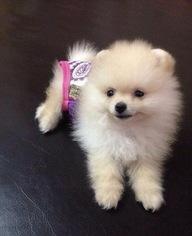 Pomeranian Puppy For Sale in PALM BAY, FL