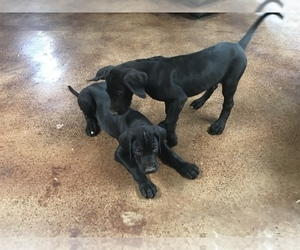Great Dane Puppy for Sale in SIERRA VISTA, Arizona USA