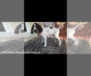 German Shorthaired Pointer Puppy for sale in MILLEN, GA, USA