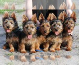Australian Terrier Puppy for sale in WHITEWOOD, SD, USA