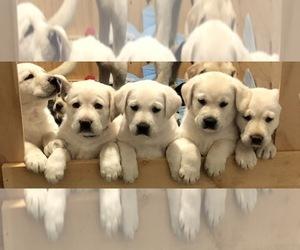 Labrador Retriever Puppy for Sale in CAMARILLO, California USA