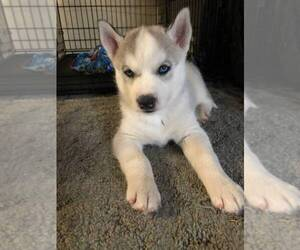 Siberian Husky Puppy for sale in PERRY, KS, USA