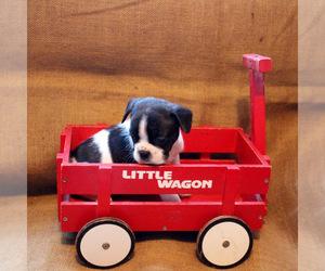 Faux Frenchbo Bulldog Puppy for sale in LIMESTONE, TN, USA