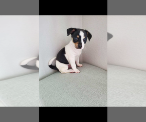 Jack Russell Terrier Puppy for Sale in SAINT AUGUSTINE, Florida USA