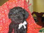Schnauzer (Miniature) Puppy For Sale in WOOSTER, OH
