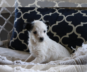 Fox Terrier (Smooth)-Poodle (Miniature) Mix Puppy for sale in SHILOH, OH, USA