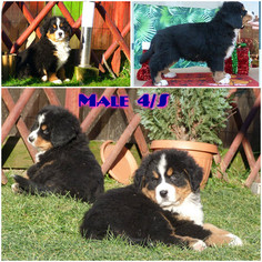 Bernese Hound Puppy For Sale in BEVERLY HILLS, CA