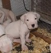 Puppy 5 Dogo Argentino