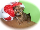 Shorkie Tzu Puppy For Sale in HAMMOND, IN