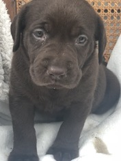 Labrador Retriever Puppy for sale in STOCKTON, MO, USA