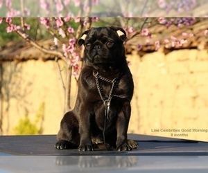 Pug Puppy for sale in Veliko Turnovo, Veliko Turnovo, Bulgaria