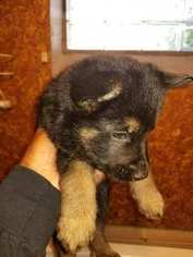 German Shepherd Dog Puppy For Sale in REDFORD, MI