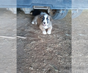 Pomsky Puppy for sale in DEMING, NM, USA