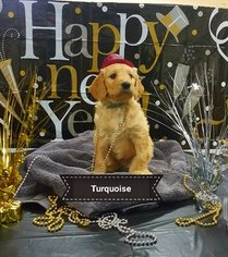 Goldendoodle Puppy For Sale in BROWNSBORO, TX, USA