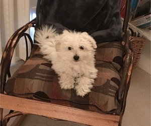 Bichon Frise Puppy for Sale in PUEBLO, Colorado USA