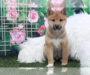 Shiba Inu Dog for Adoption in MARIETTA, Georgia USA