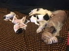 Chinese Crested Puppy For Sale in MANHATTAN, NY, USA