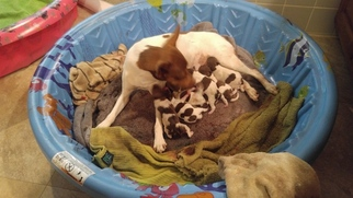Rat Terrier Puppy For Sale in STOKESDALE, NC
