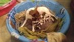 Rat Terrier Puppies Champion Bloodline